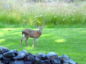 A Deer Standing In a Grassy Field
